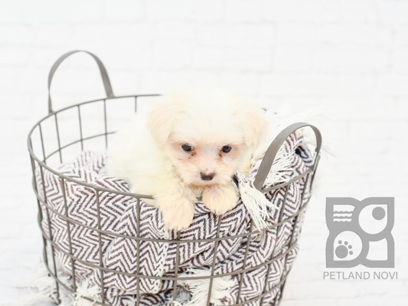 Maltese-DOG-Male-WHITE-2734440-Petland Novi