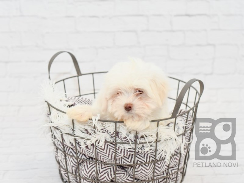 Maltese-Male-White-2742457-Petland Novi
