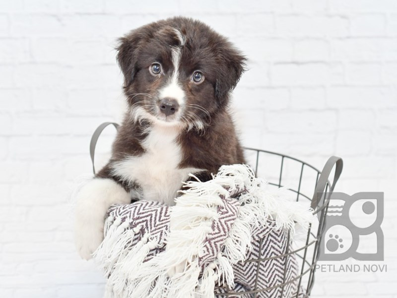 Australian Shepherd-Female-Black & White-2742487-Petland Novi