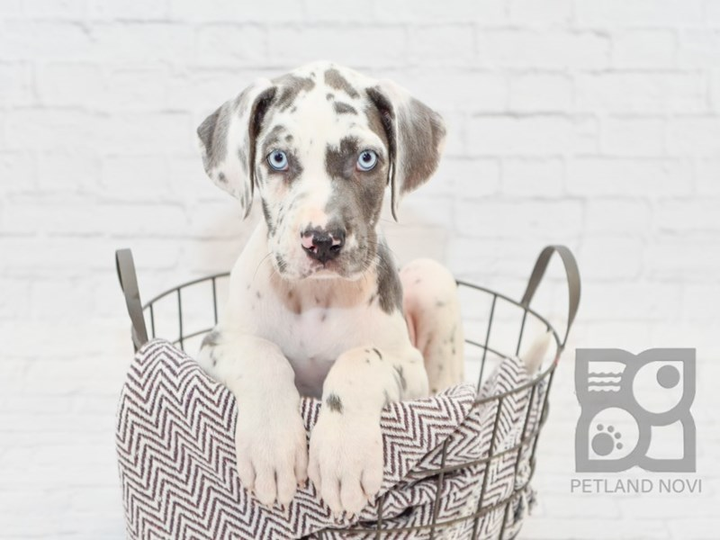 Great Dane-Female-Blue Harlequin-2756480-Petland Novi