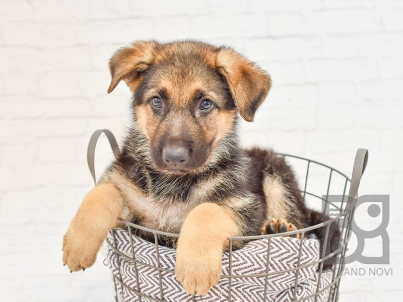 German Shepherd-Male-Black & Tan-2764463-Petland Novi
