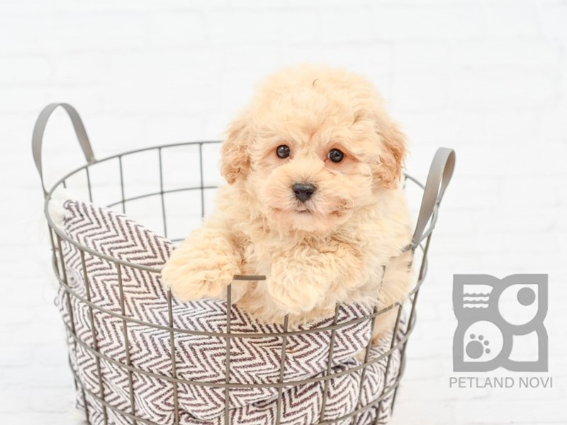 Bichon Poo-Male-RED-2763862-Petland Novi