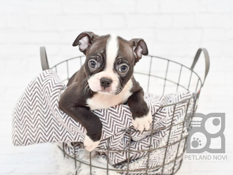 Boston Terrier-Female-Black & White-2756605-Petland Novi