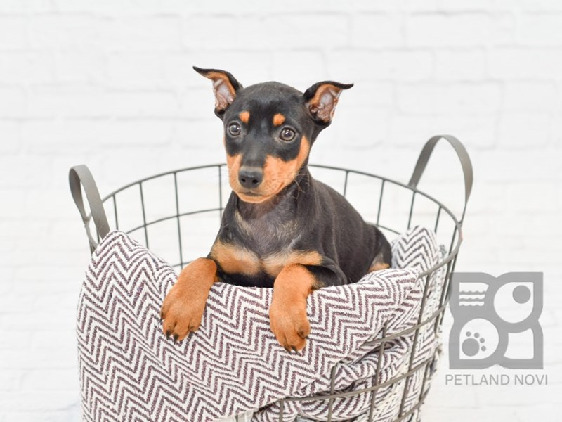 Miniature Pinscher-Female-Black & Tan-2758573-Petland Novi