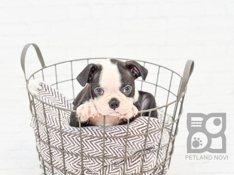 Boston Terrier-Male-Black Brindle & White-2764650-Petland Novi