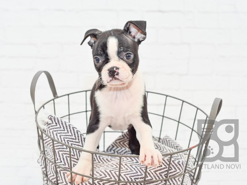Boston Terrier-Female-Black & White-2764664-Petland Novi