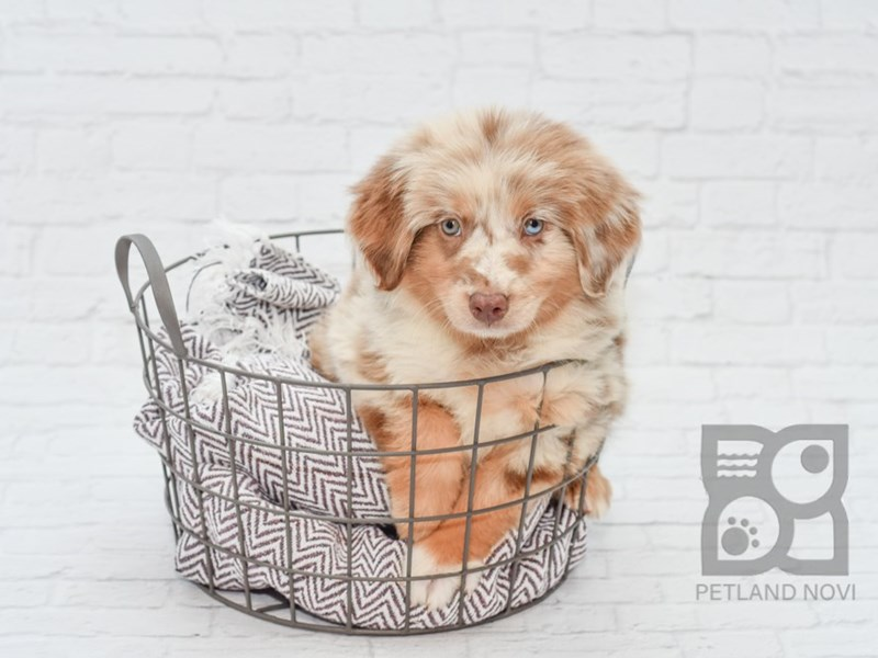 Australian Shepherd-DOG-Female-Red Merle-2780935-Petland Novi
