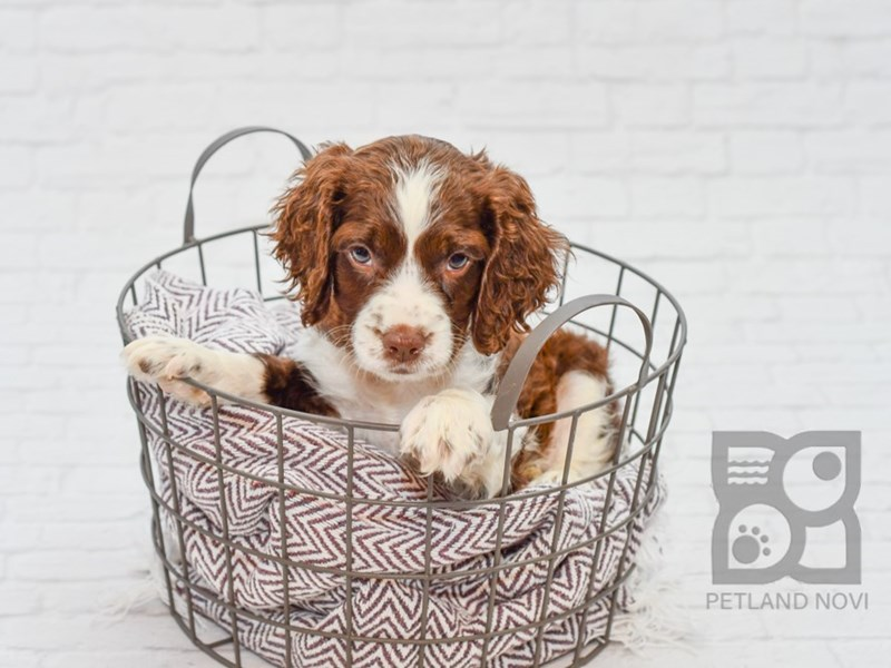 English Springer Spaniel-Male-Liver & White-2787669-Petland Novi