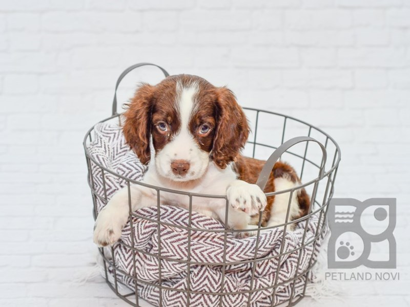 English Springer Spaniel-Female-Liver & White-2787695-Petland Novi