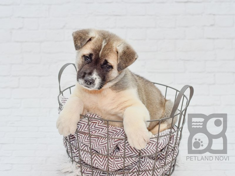 Akita-Male-Brown & White-2787710-Petland Novi