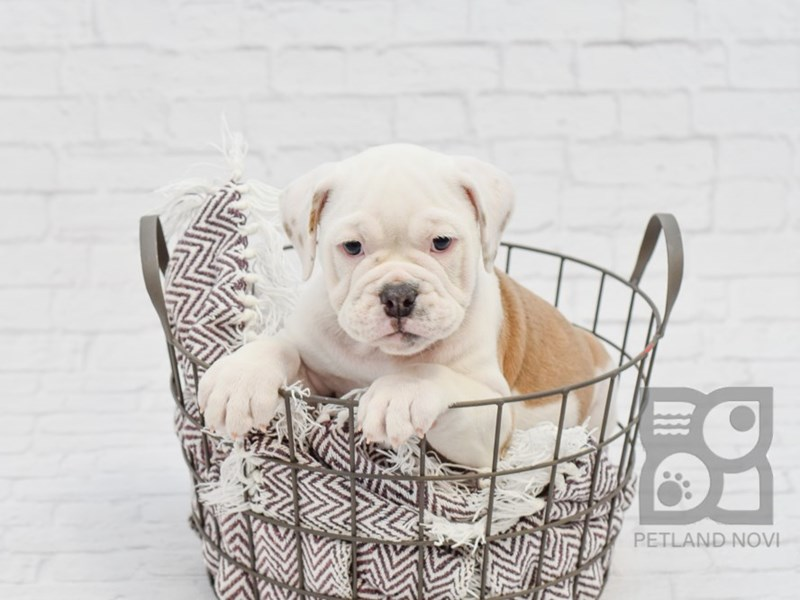 Olde English Bulldogge-DOG-Female-LILAC WHITE-2794119-Petland Novi