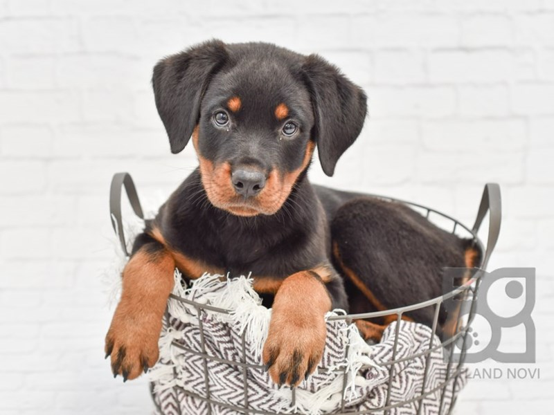 Rottweiler-Female-Black & Rust-2794995-Petland Novi