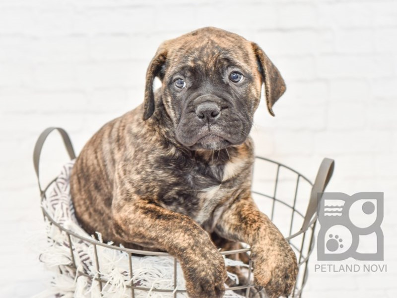 Bullmastiff-Female-Brindle-2809270-Petland Novi