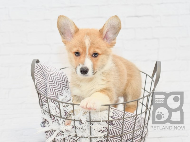 Pembroke Welsh Corgi-Male-Red & White-2809444-Petland Novi