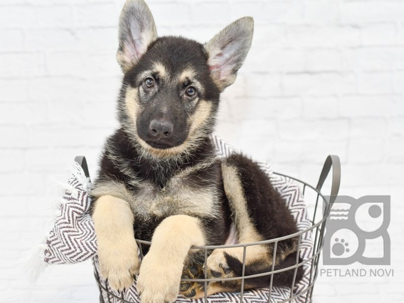 German Shepherd-Male-Black & Tan-2818115-Petland Novi