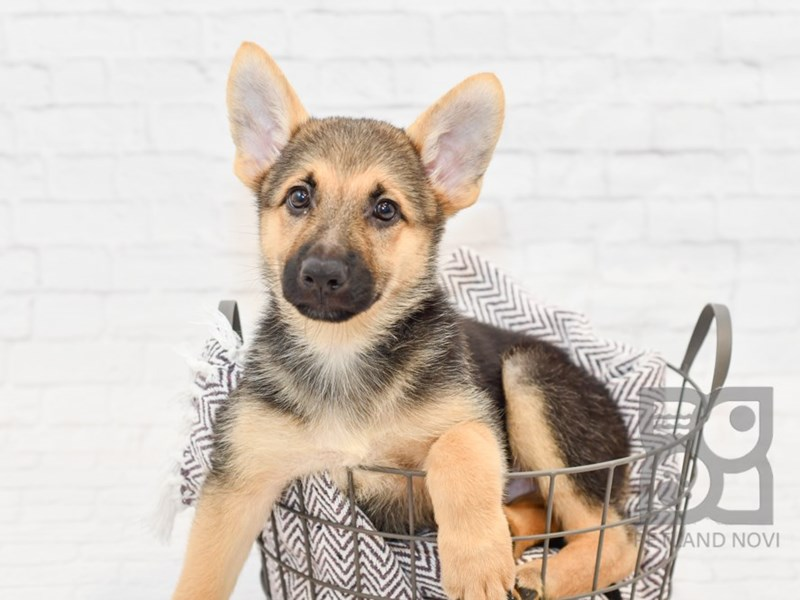 German Shepherd-DOG-Female-Black & Tan-2818131-Petland Novi