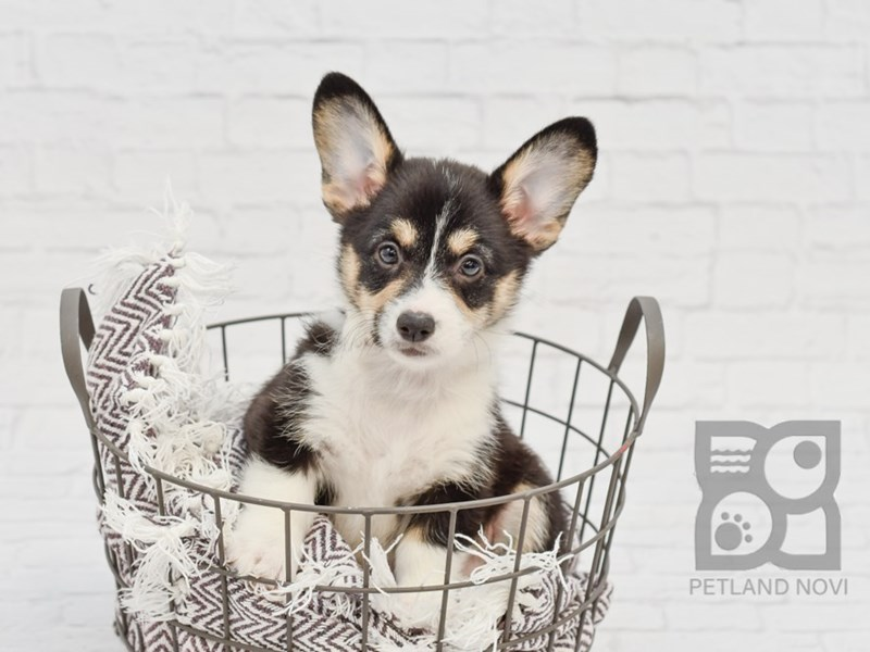 Pembroke Welsh Corgi-Female-Tri-Colored-2794216-Petland Novi