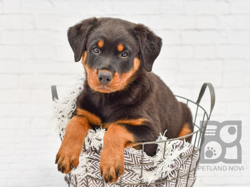 Rottweiler-DOG-Female-Black & Rust-2795003-Petland Novi