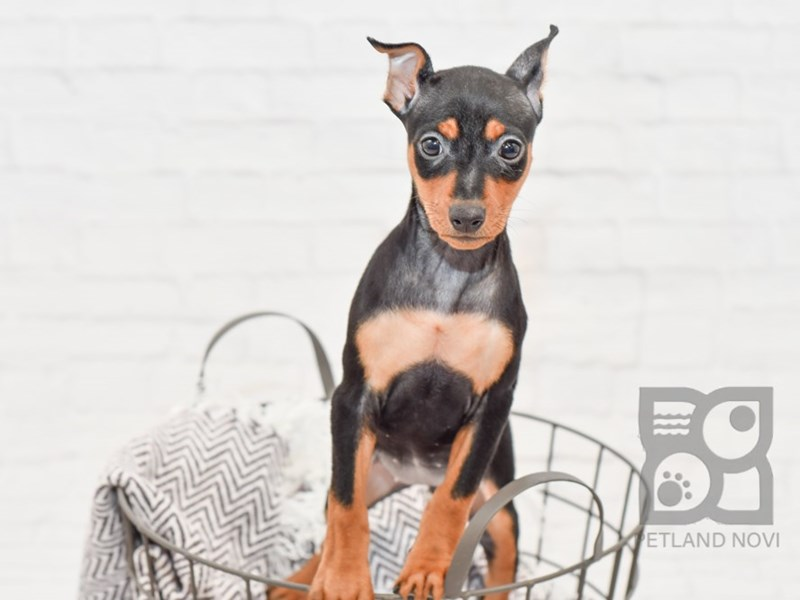 Miniature Pinscher-Female-Black / Tan-2817100-Petland Novi