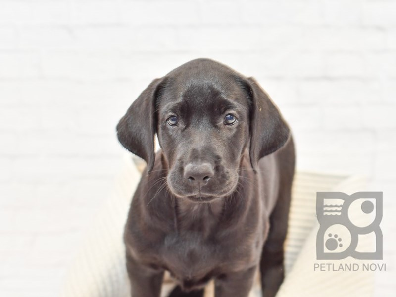 Labrador Retriever-DOG-Female-Black-2817300-Petland Novi