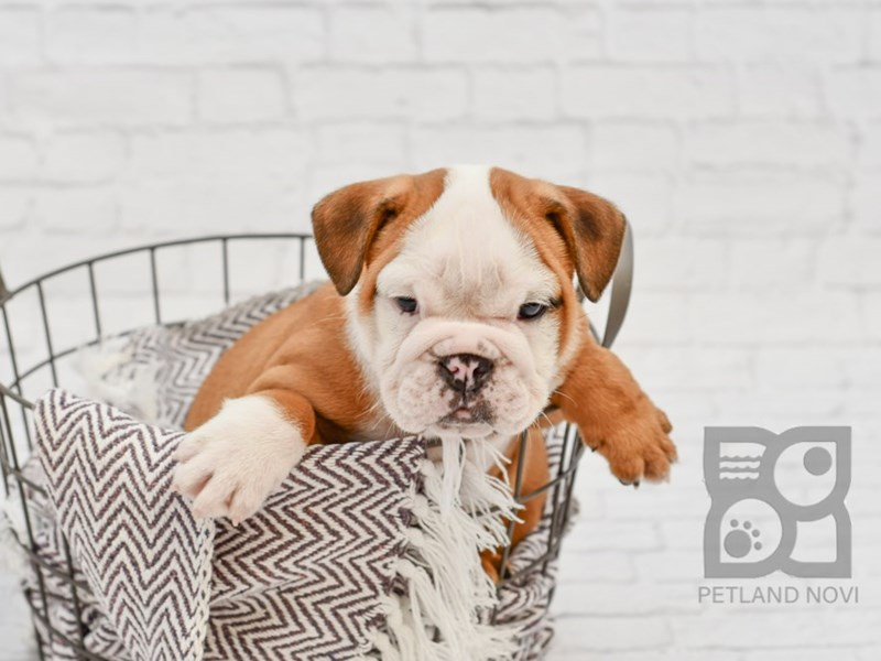 English Bulldog-Male-Red & White-2826435-Petland Novi