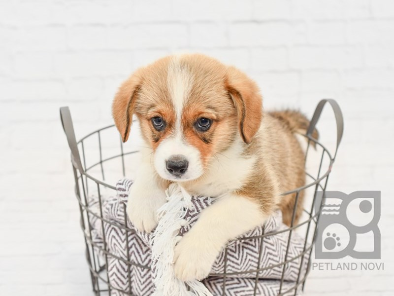 Pembroke Welsh Corgi-Male-Sable & White-2833262-Petland Novi