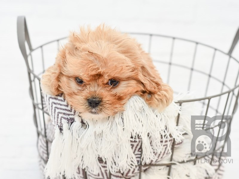 Cavachon-Female-RED-2838943-Petland Novi