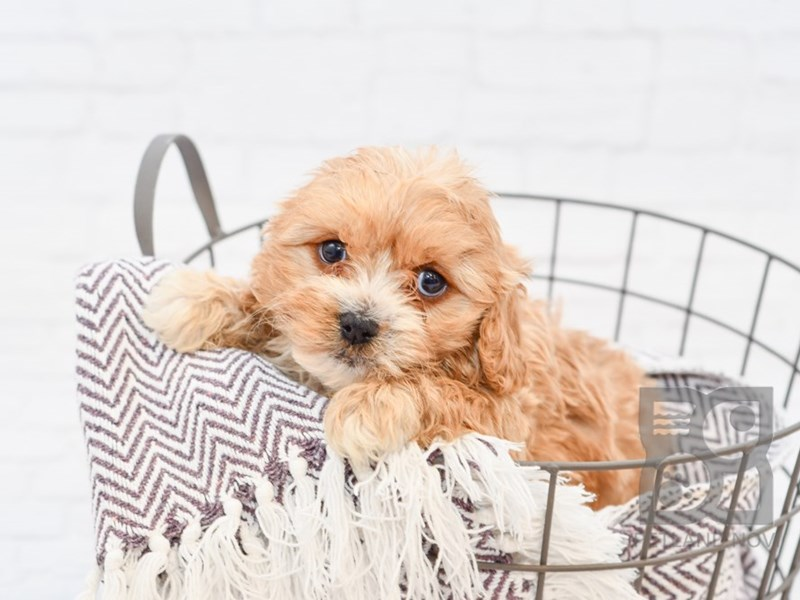 Cavachon-Male-RED-2838939-Petland Novi
