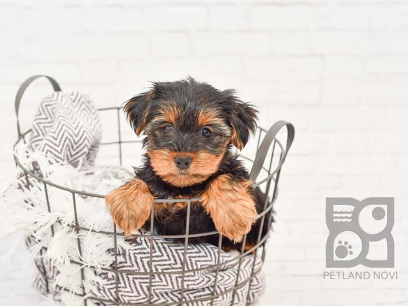 Yorkshire Terrier-Female-BLK TAN-2808196-Petland Novi