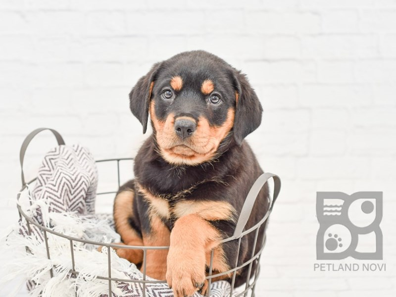 Rottweiler-Female-Black & Tan-2808410-Petland Novi