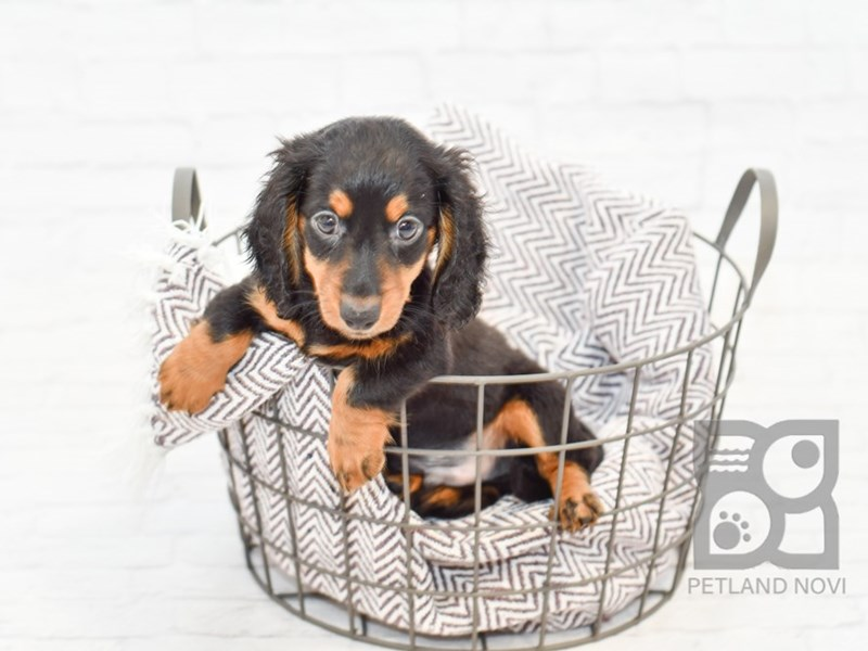 Dachshund-DOG-Male-BLK TAN-2816804-Petland Novi