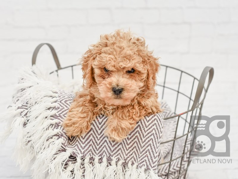 Bichon Poo-Male-LIGHT RED-2846509-Petland Novi