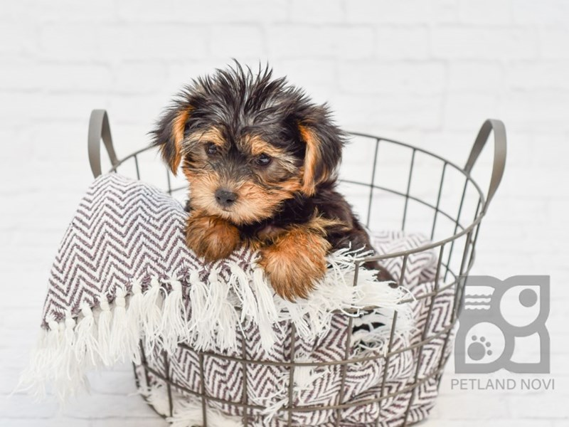 Yorkshire Terrier-Male-Black & Tan-2854310-Petland Novi