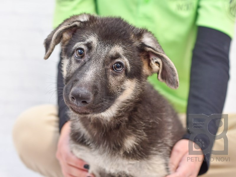 German Shepherd-Female-Black & Tan-2854598-Petland Novi
