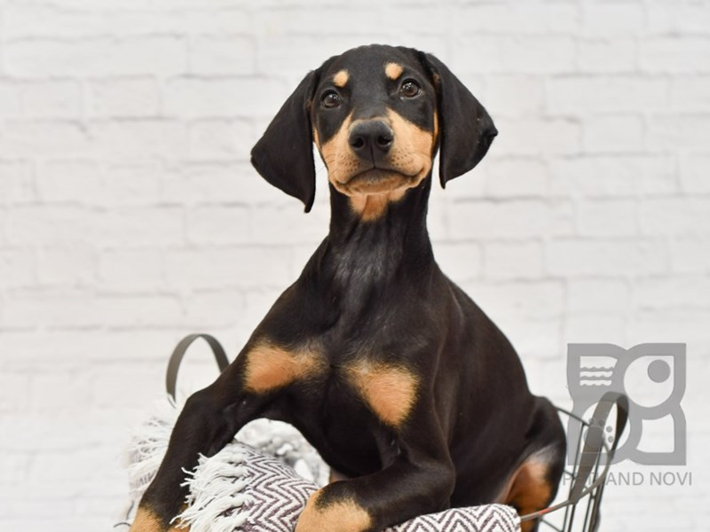 Doberman Pinscher-Female-Blk & Tan-2848765-Petland Novi