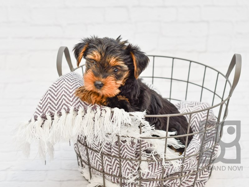 Yorkshire Terrier-Male-BLK TAN-2853866-Petland Novi