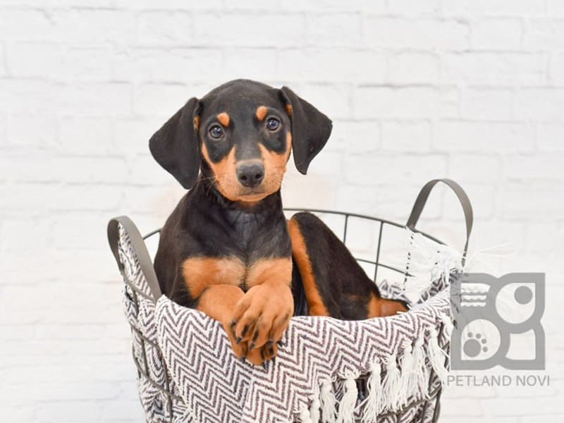 Doberman Pinscher-Female-Black & Tan-2876390-Petland Novi