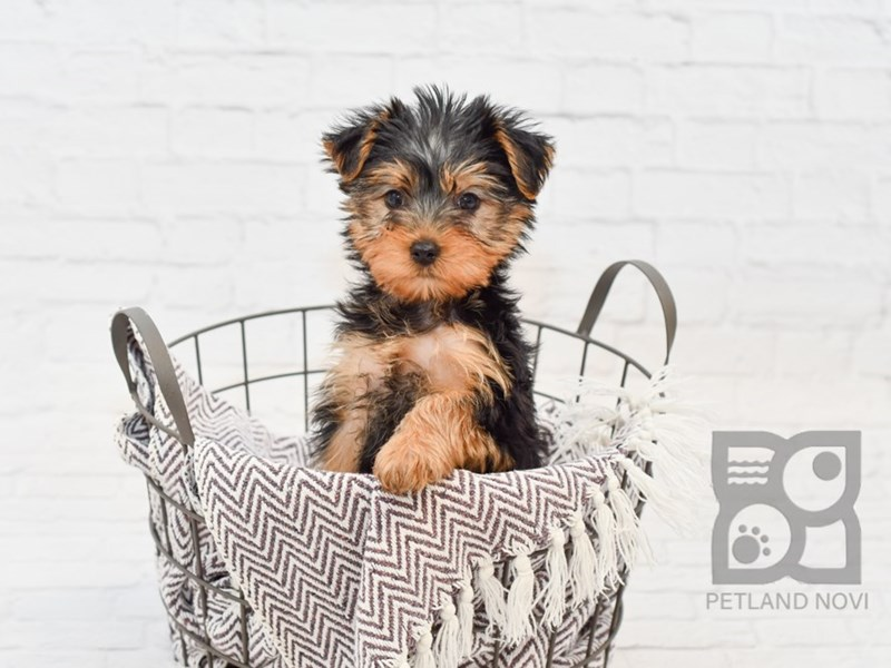 Yorkshire Terrier-Female-Black & Tan-2877022-Petland Novi