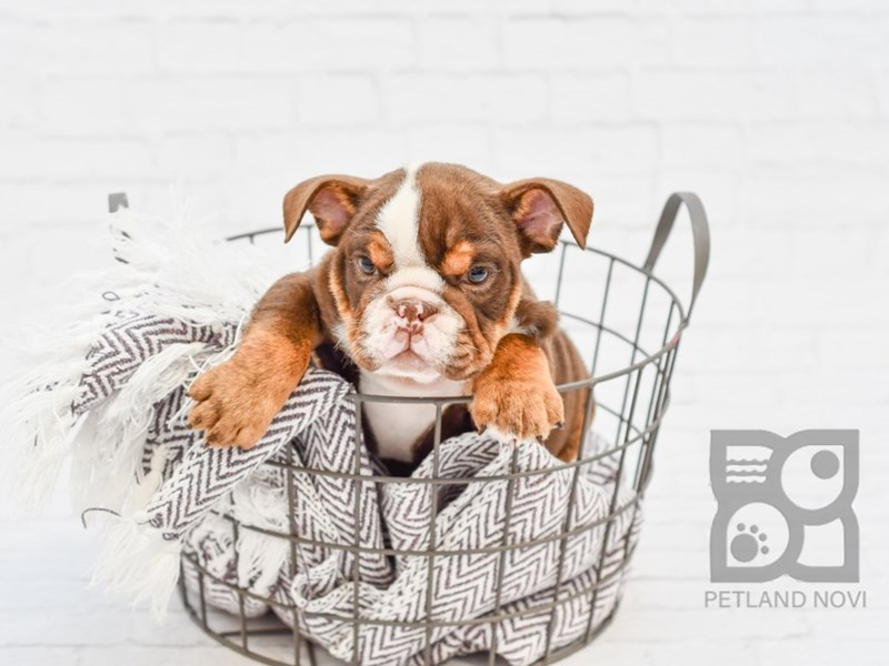 English Bulldog-Female-Dark Chocolate Tri Triple-2884330-Petland Novi