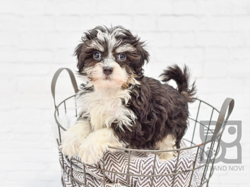 Havanese-DOG-Male-Black / White-2889793-Petland Novi