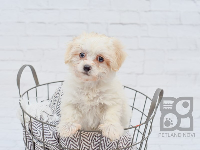 Havanese-DOG-Female-Cream / White-2889792-Petland Novi