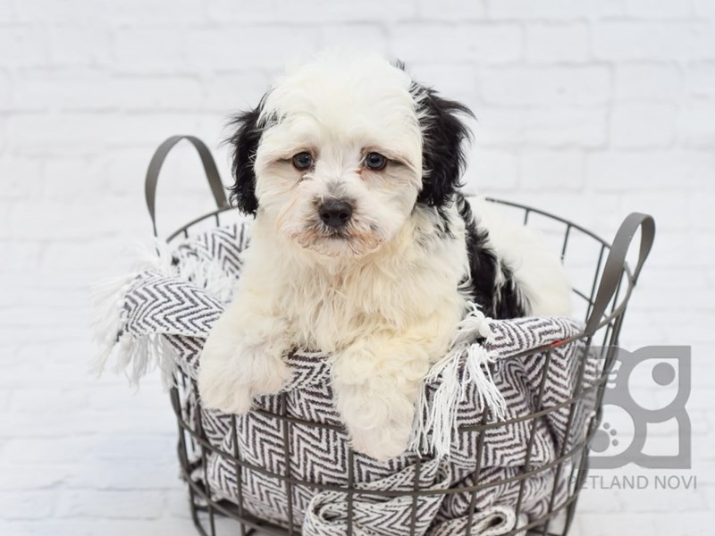 Havanese-Male-Black / White-2889790-Petland Novi