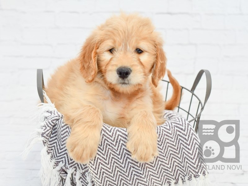Goldendoodle-Female-Golden-2911295-Petland Novi