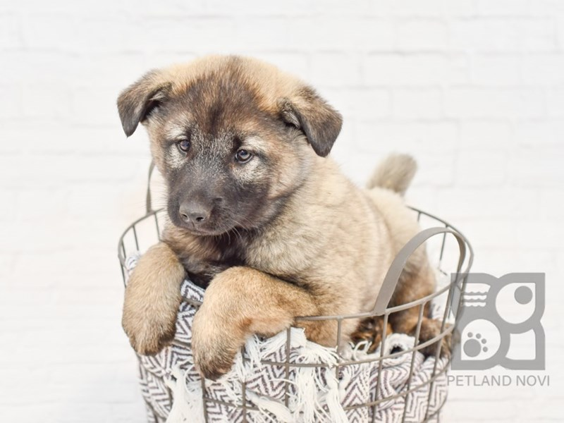 Norwegian Elkhound-Male-Sable-2913353-Petland Novi