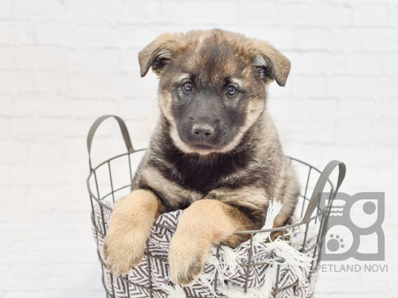 Norwegian Elkhound-Male-Sable-2913361-Petland Novi