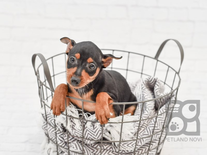 Miniature Pinscher-Female-Black & Tan-2933247-Petland Novi