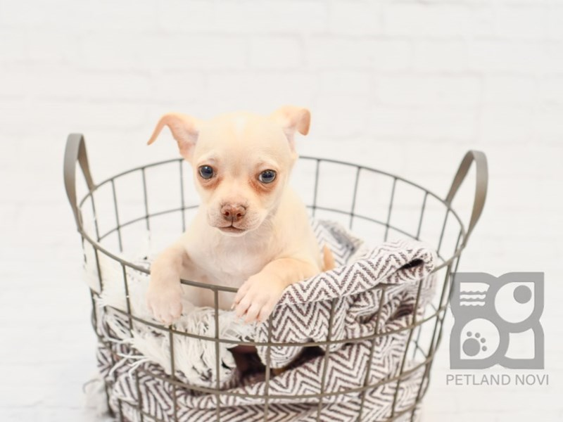 Chihuahua-Female-Fawn-2933266-Petland Novi