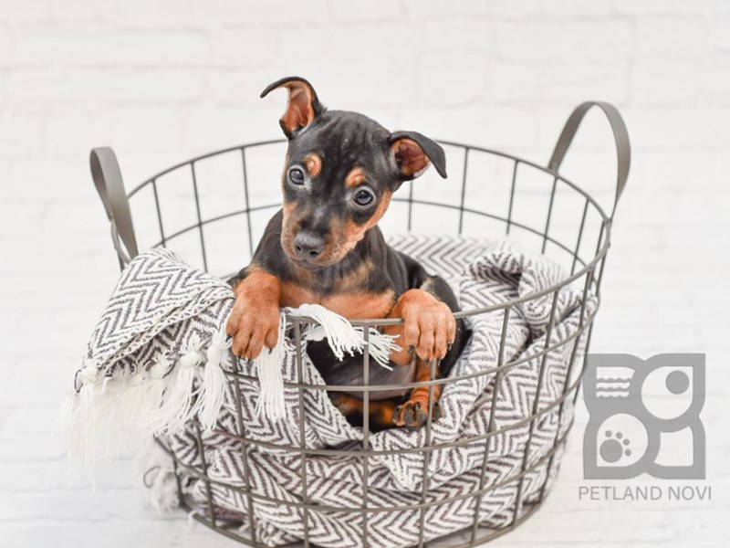 Miniature Pinscher-Female-Black & Tan-2933272-Petland Novi