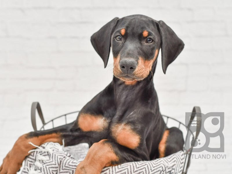 Doberman Pinscher-Male-Black / Tan-2940353-Petland Novi