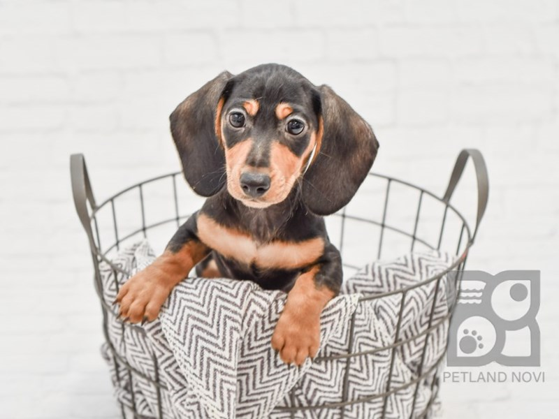 Dachshund-Male-Black / Tan-2940350-Petland Novi